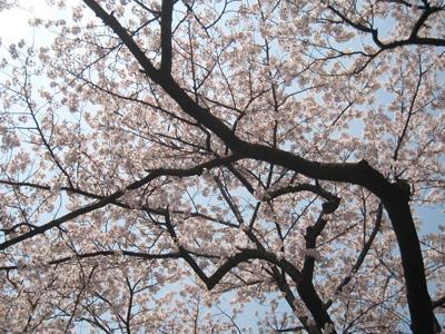 桜その2.jpg